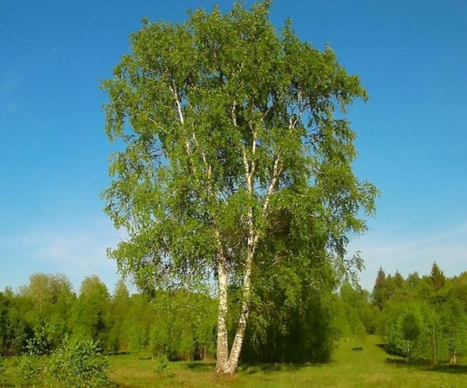 Березка дерево