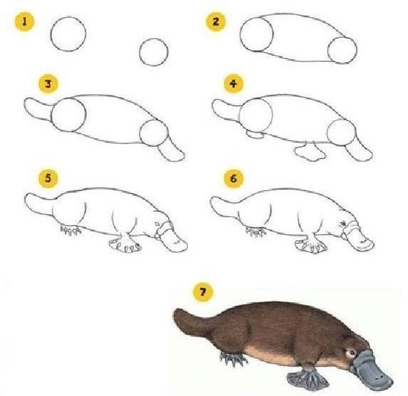как нарисовать утконоса поэтапно