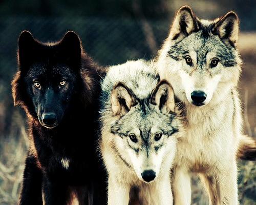 Какого цвета у волка глаза