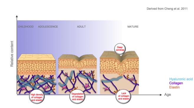 схема старения кожи