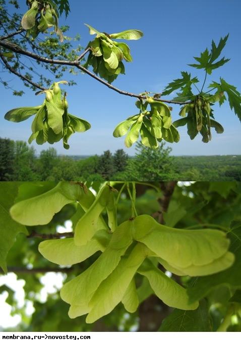 семена самолетики у какого дерева