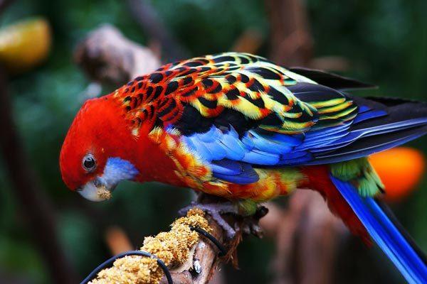 узнать возраст попугая розеллы