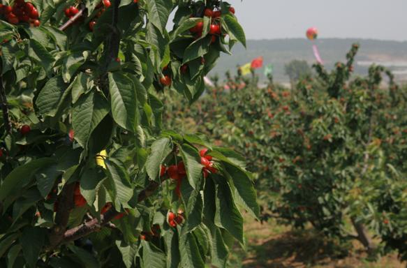 вишневый сад, созрели вишни в саду у дяди Вани, песни шансон