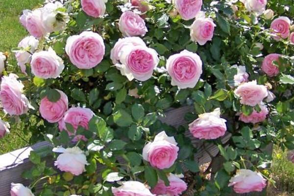 Какие сорта розы лучше всего сажать