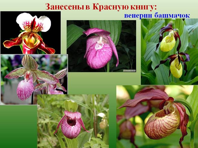 ... также люди выкапывают венерин башмачок с целью посадить себе на участок  или продать как рассаду) 4bddcea57d285