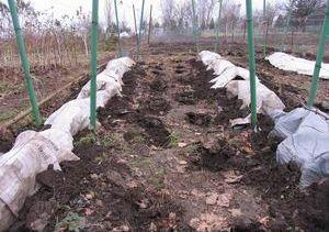 Как закрыть виноград на зиму