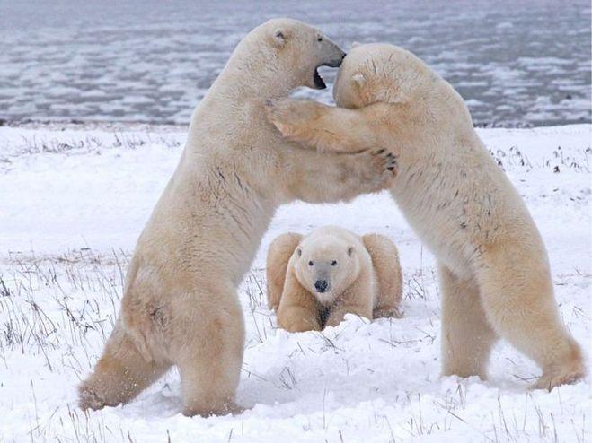 Цвет кожи белого медведя