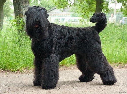 Сколько стоит щенок породы Русский чёрный терьер?