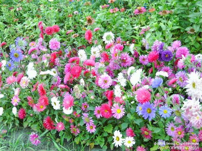 Цветы, похожие на ромашки, для вашего сада, фото и названия