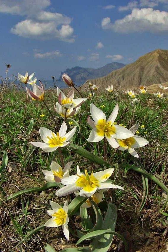 Цветущий эдельвейс