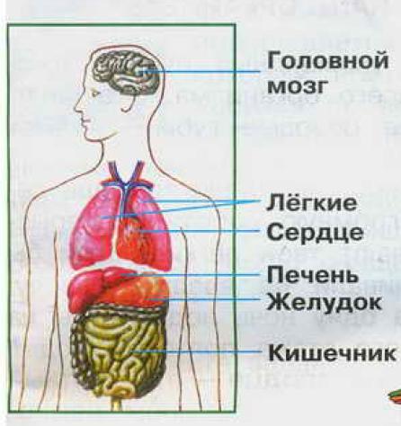 Как сделать орган человека 532