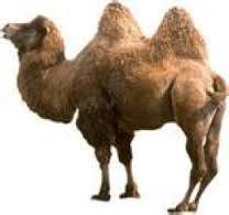 верблюд, горбы верблюда