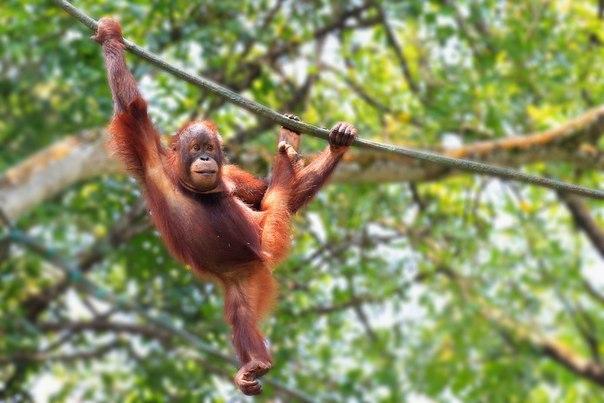по деревьям прыгают какие обезьяны