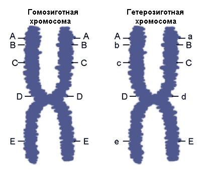 Гомозиготное и гетерозиготное состояние генов