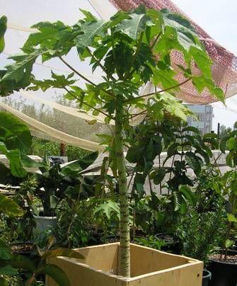 Растет ли дынное дерево в Европе в комнатных условиях?