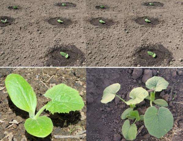 документом, как посадить семена кабачков на рассаду упаковки