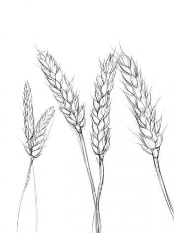 Колосок пшеницы рисовать