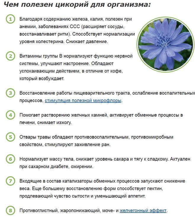 Свойства цикория на организм