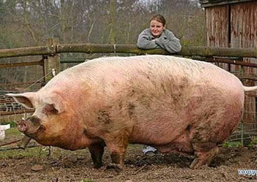 Стайка для свиней видео