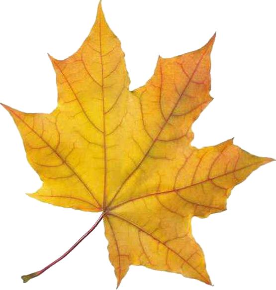 Осенний лист рисунок в натуральную величину