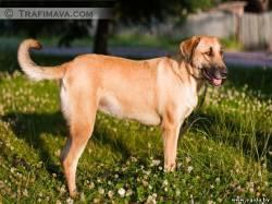 Как определить крупная будет собака или нет