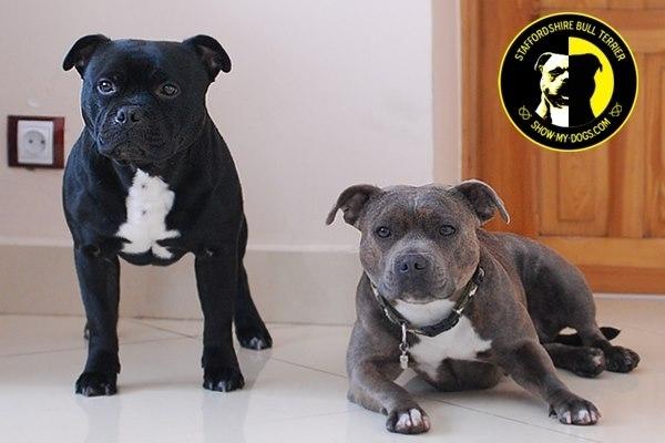 стаффордширский бультерьер продажа щенков в братске следует