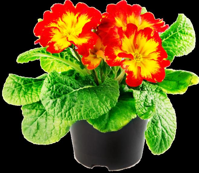 Домашний цветок в горшке