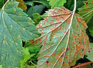 ржавчина на листьях крыжовника