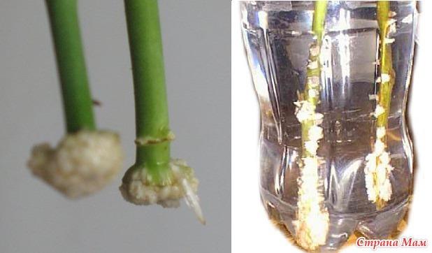 Как посадить в землю срезанную розу