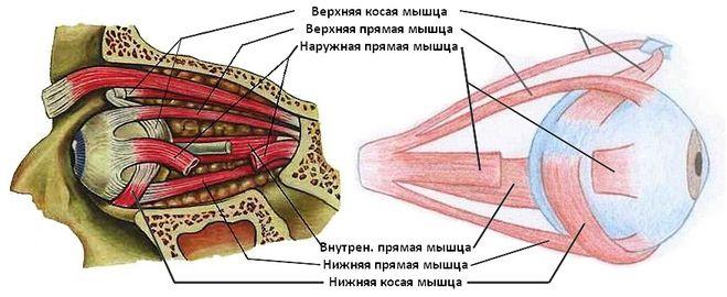 Строение мышц глаза схема