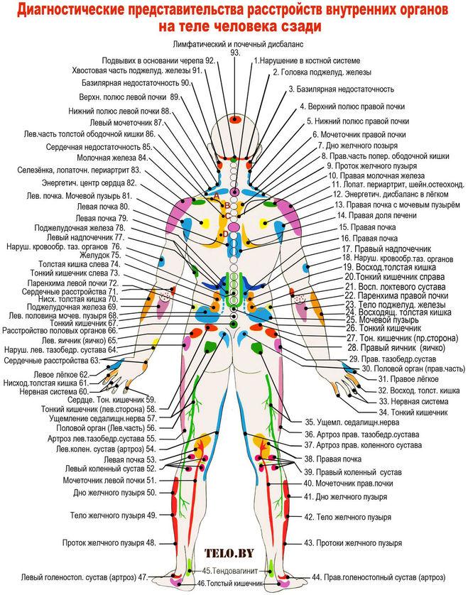 Фото органы человека со спины схема