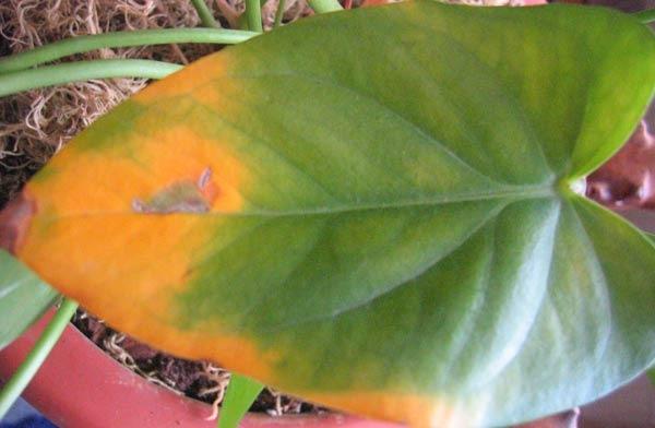 Стали желтеть листья на монстере что делать