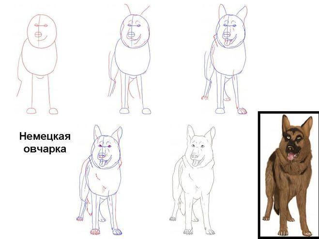 схема рисования овчарки,