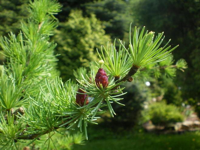 Дерево с иголками