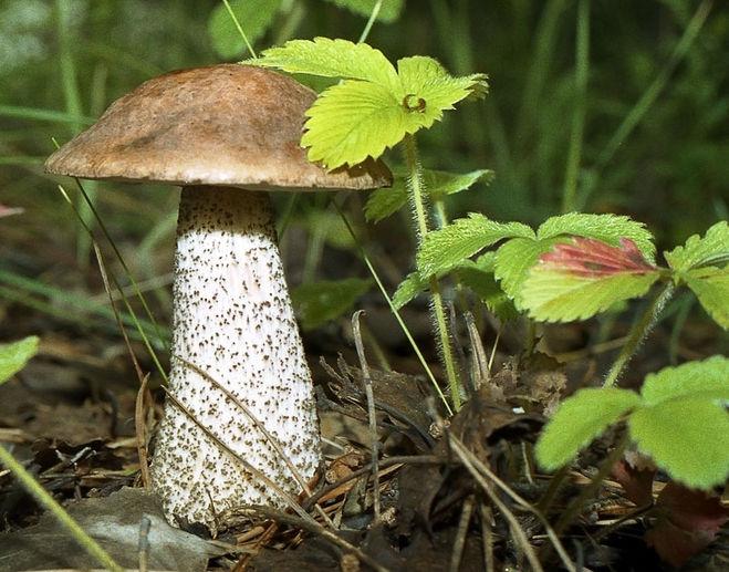 подберезовик гриб