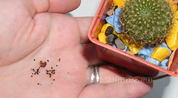 вот как примерно выглядят семена