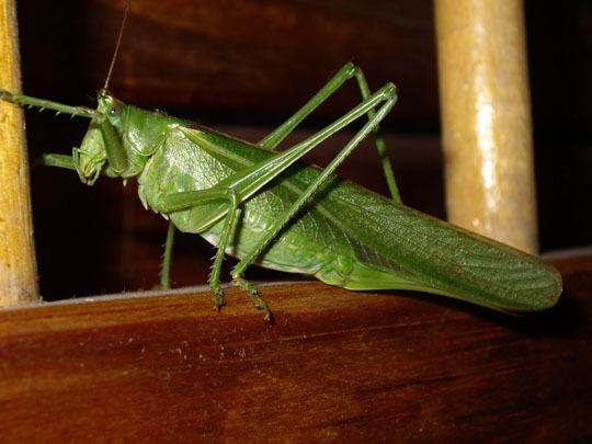 Grasshopper in the apartment