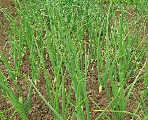Агротехника выращивания лука на репку из севка 30