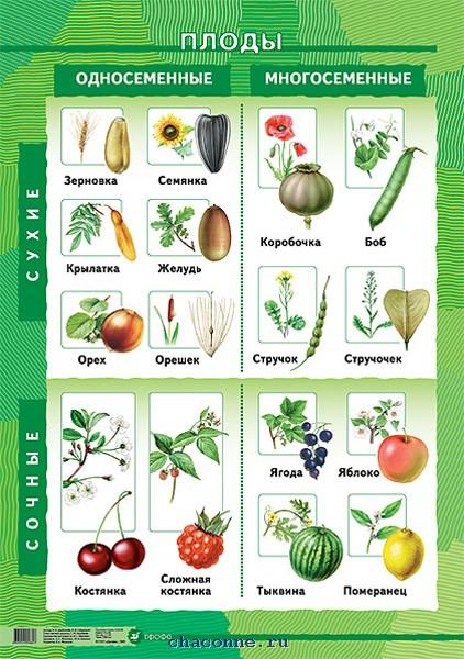 где расположены семена у растений
