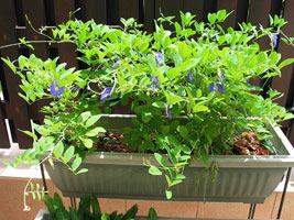 Правила выращивания клитория