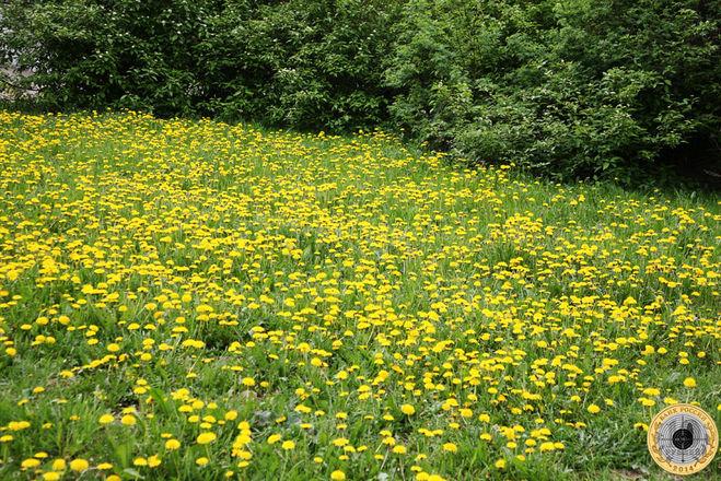 Большая поляна с цветущими одуванчиками