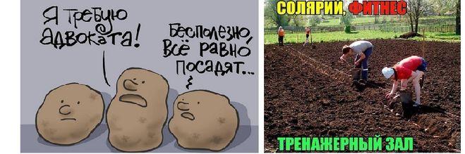 картошка с юмором