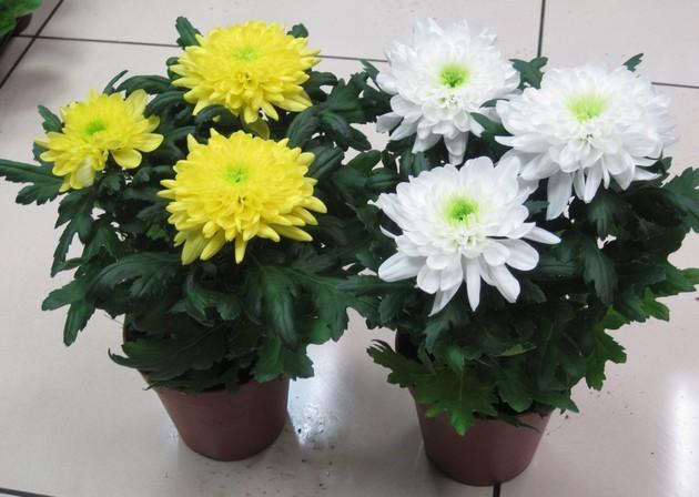 Уход за домашним цветком хризантема в домашних условиях