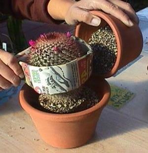Как пересадить кактус?