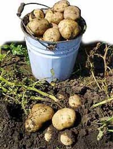 сколько килограммов картошки в 10 литровом ведре