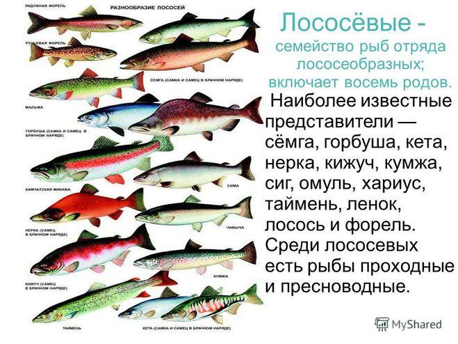 фото мурманске рыба в виды