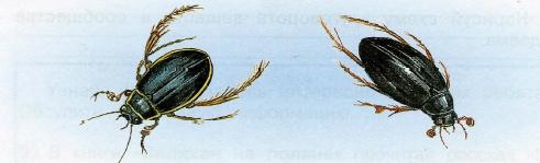 плавунец окаймленный и водолюб черный