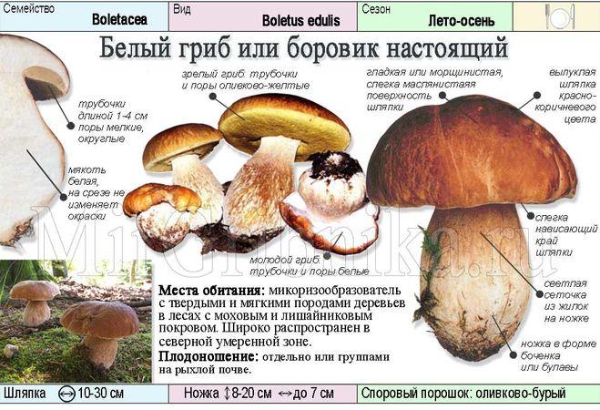бывает ли белый гриб белым
