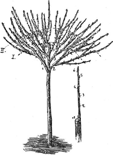 Выращивание штамбовой смородины 15