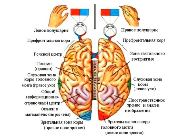 Рисовать полушарием мозга